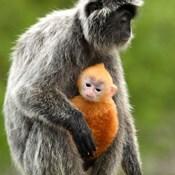 Silver Leaf Monkey and offspring, Borneo, Malaysia