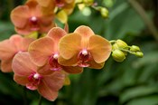 Singapore. National Orchid Garden - Peach Orchids