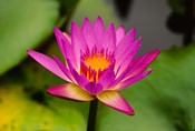 Single magenta water lily at the Orchid Garden at Lake Gardens Park in Kuala Lumpur Malaysia