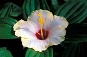 Hibiscus flower, Bangkok, Thailand