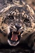 Tibet, Snow Leopard, captive