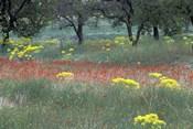 Rural Landscape and Wildflowers, Cappadocia, Turkey
