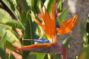 Bird-of-Paradise Flower, Sunshine Coast, Queensland, Australia