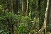 Australia, NSW, Rainforest Trees, Wonga Walk, Dorrigo NP