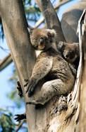 Mother and Baby Koala on Blue Gum, Kangaroo Island, Australia