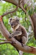 Koala wildlife in tree, Australia