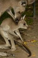 Eastern Grey Kangaroo with baby, Queensland AUSTRALIA