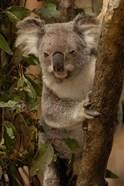 Koala bear, Lone Pine Koala Sanctuary, AUSTRALIA