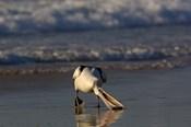 Australian pelican bird, Stradbroke Island, Australia