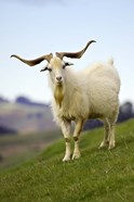 Goat, Taieri, near Dunedin, South Island, New Zealand