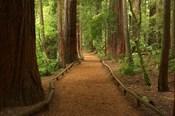Path through Redwood Forest, Rotorua, New Zealand