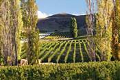 Felton Road Vineyard, Bannockburn, South Island, New Zealand
