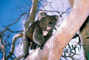 Australia, Kangaroo Isl, Koala bear, eucalypytus tree