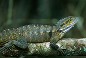 Australia, Queensland, Eastern Water Dragon lizard