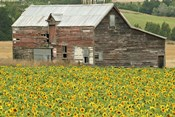 Sunflowers and Old Barn, near Oamaru, North Otago, South Island, New Zealand