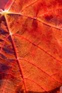 Autumn leaf, Domain Road Vineyard, South Island, New Zealand
