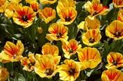 Close up of Tulips, West Otago, South Island, New Zealand