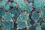 Echeveria Elegans Succulents, New Zealand