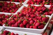 Hydroponic Strawberry Production, Marlborough, South Island, New Zealand