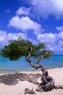 Lone Divi Tree, Aruba, Caribbean