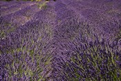 Lavender Farm, near Cromwell, Central Otago, South Island, New Zealand (horizontal)