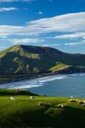 Sheep grazing near Allans Beach, Dunedin, Otago, New Zealand