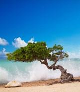Divi Divi Tree, Eagle Beach, Aruba, Caribbean