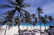 Palm Trees on St Philip, Barbados, Caribbean