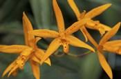 Orange Orchids, Barbados, Caribbean