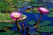 Water Lillies in Reflecting Pool at Palm Grove Gardens, Barbados
