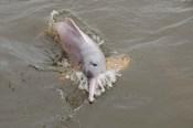 Brazil, Amazonas, Rio Tapajos Freshwater pink Amazon dolphin