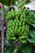 Cuba, Topes de Collantes banana fruit tree