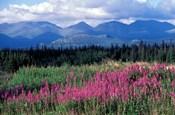 Fireweed Blooms near Kluane National Park, Yukon, Canada