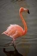 Flamingo, Tropical bird, Dominican Republic