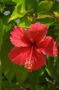 Dominican Republic, Bavaro, Hibiscus flower