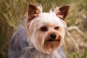 Purebred Yorkshire Terrier Dog