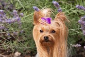 Purebred Yorkshire Terrier dog, purple bow