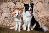 An adult Border Collie dog with puppy