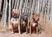 American Pitt Bull Terrier dogs, NM