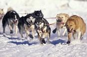 Iditarod Dog Sled Racing through Streets of Anchorage, Alaska, USA