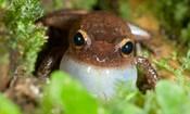 Common coqui frog, El Yunque NF, Puerto Rico