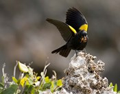 Yellow shouldered blackbird, Mona Island, Puerto Rico
