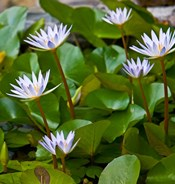 Pygmy Water Lily flower