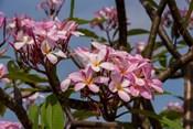 Pink Oleander Flora, Grand Cayman, Cayman Islands, British West Indies