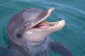 Bottlenose Dolphin, Caribbean