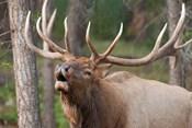 Canada, Alberta, Jasper National Park Bull elk bugling