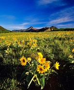 Balsamroot along the Rocky Mountain Front, Waterton Lakes National Park, Alberta, Canada