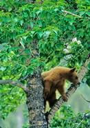 Black bear, aspen tree, Waterton Lakes NP, Alberta