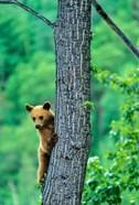 Black bear, Waterton Lakes National Park, Alberta