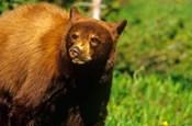 Juvenile black bear, Waterton Lakes NP, Alberta, Canada